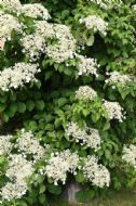Climbing Hydrangea 10 Seeds- Hardy,Quick Growing,Flowering